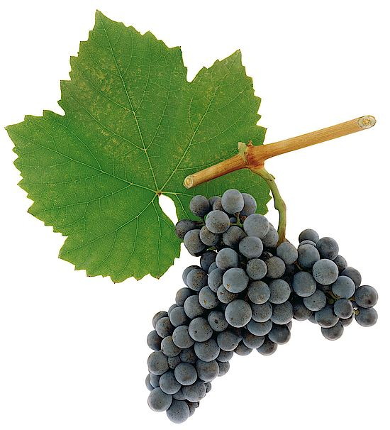 A picture shows grapes of the grape variety Blauburger