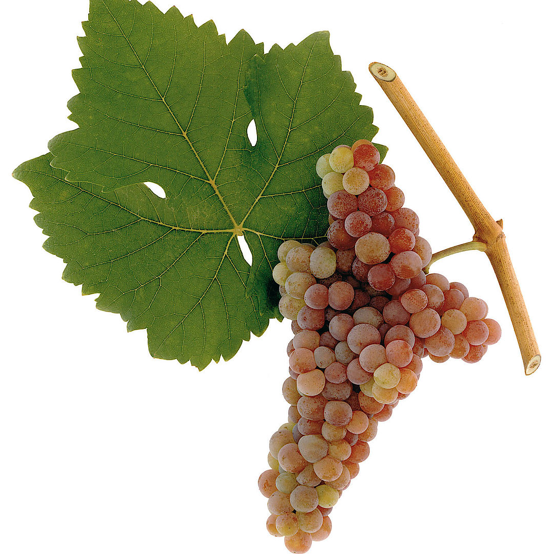 A picture shows the grape variety Zierfandler