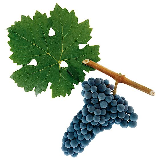 A picture shows grapes of the grape variety Cabernet Sauvignon