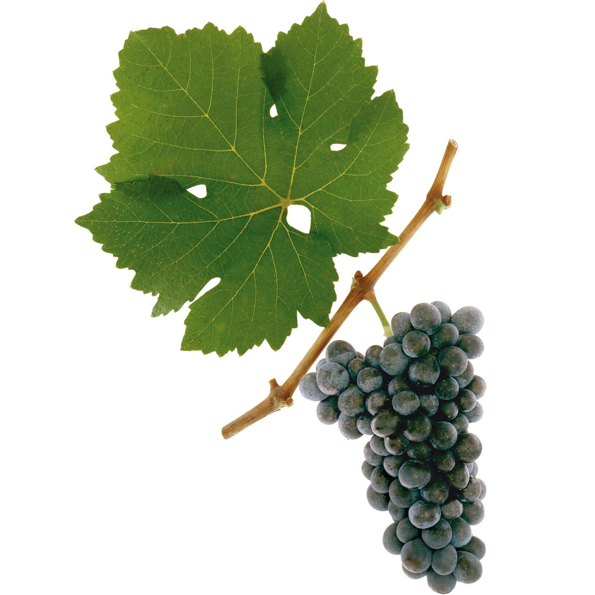 A picture shows the grape variety St. Laurent