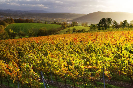 A picture shows a vineyard in autumn in Wien Stammersdorf, © AWMB/Marcus Wiesner.