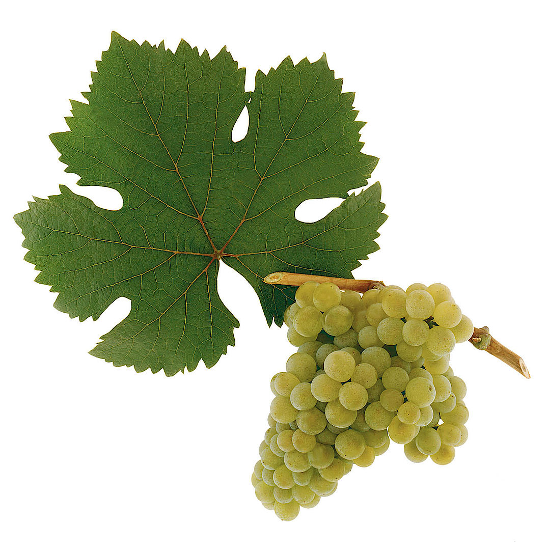A picture shows the grape variety Rotgipfler