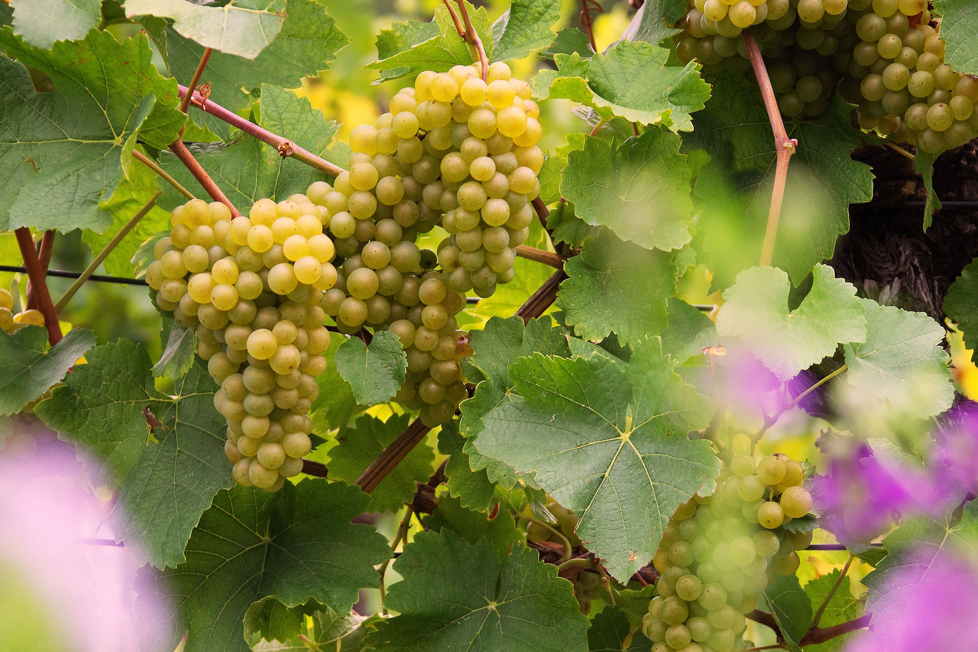 The quality of the grapes in Austria leads to the expectation of harmonious and balanced 2019 wines; © Austrian Wine/Marcus Wiesner