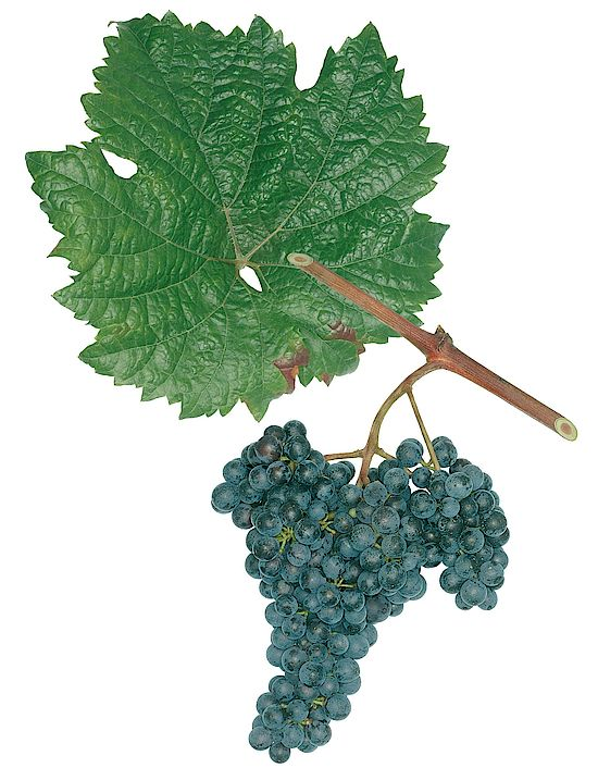 A picture shows grapes of the grape variety Roesler