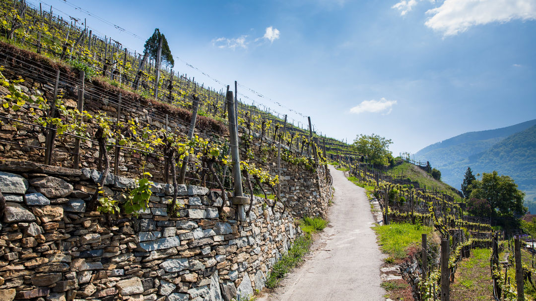 The picture shows Terraces in Wachau