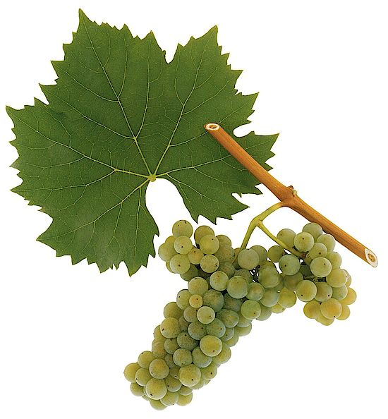 A picture shows grapes of the grape variety Welschriesling