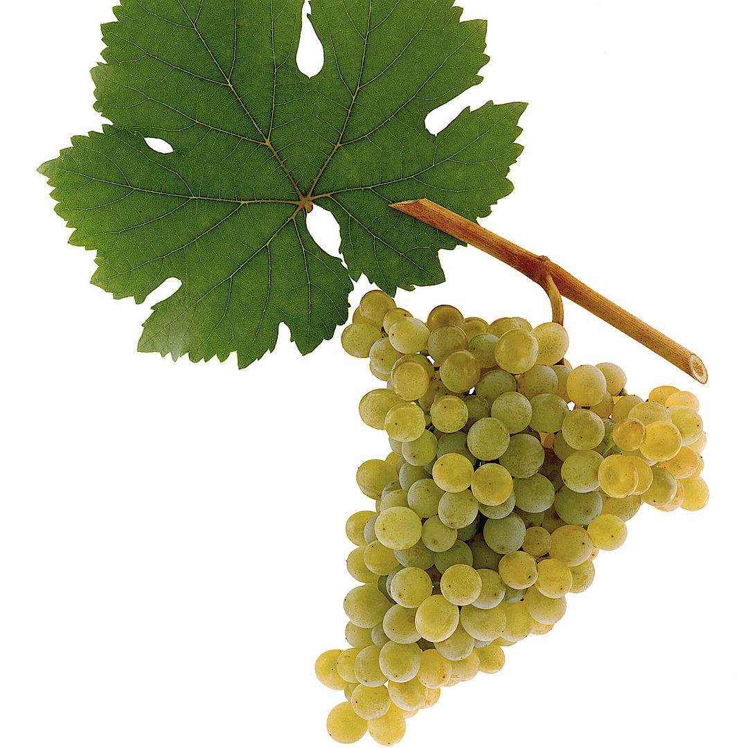 A picture shows the grape variety Grüner Veltliner