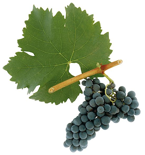 A picture shows grapes of the grape variety Blauer Portugieser