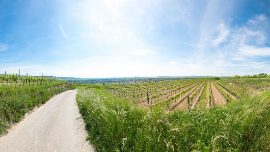 A picture shows vineyards in Kamptal