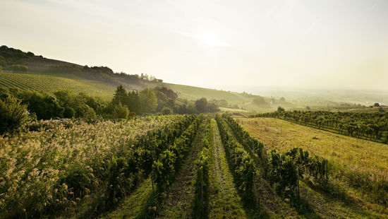 A picture shows vineyards