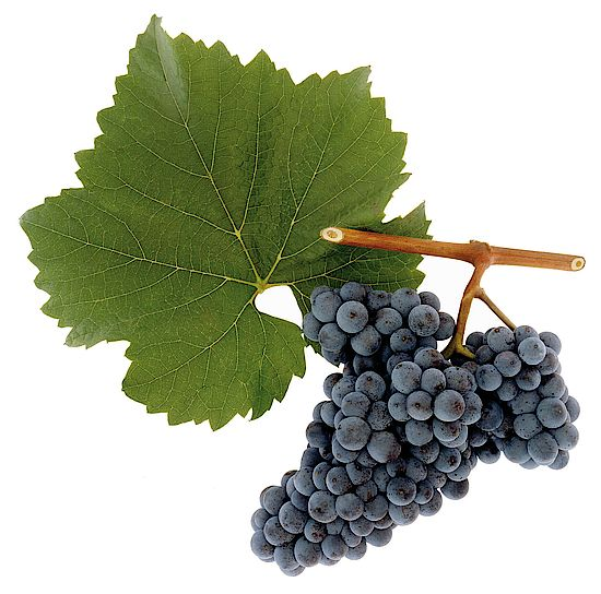 A picture shows grapes from the grape variety Zweigelt