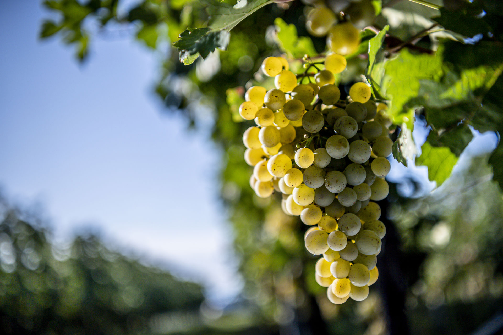 A picture shows Grüner Veltliner grapes on the vine.