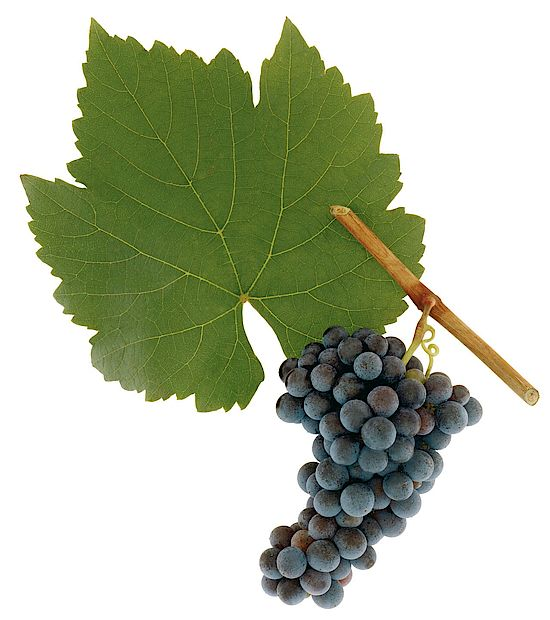 A picture shows grapes of the grape variety Blauer Wildbacher