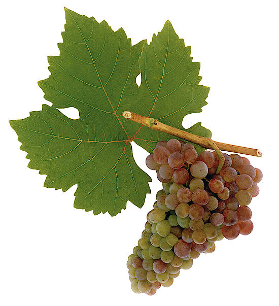A picture shows grapes of the grape variety Frühroter Veltliner