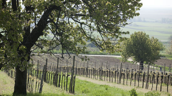 A picture shows vineyards at Leithagebirge