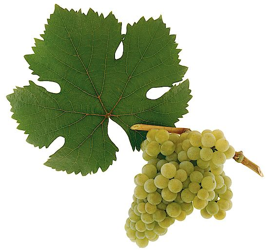 A picture shows grapes from the grape variety Rotgipfler