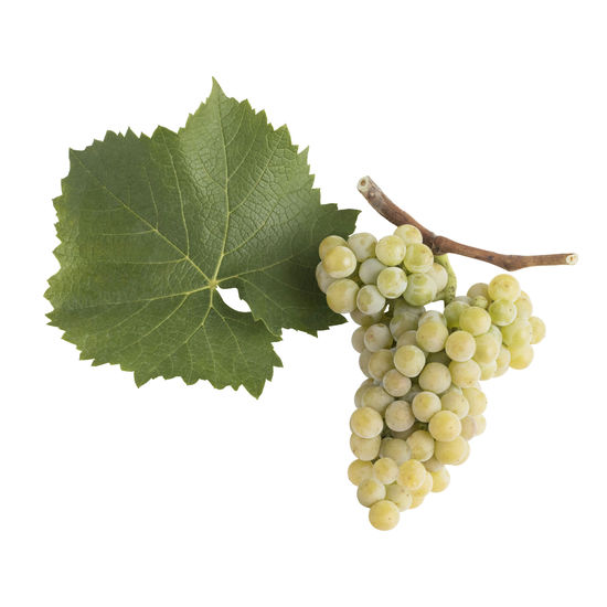 A picture shows the leaf and grape cluster of the Muscaris, © AWMB/Blickwerk Fotografie