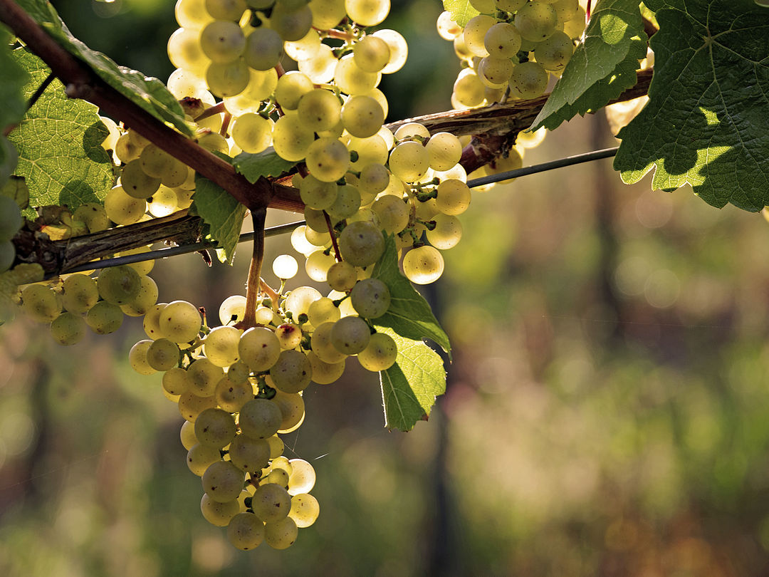 A picture shows white wine grapes on a vine in Wien (Vienna), Nussdorf © AWMB/Marcus Wiesner