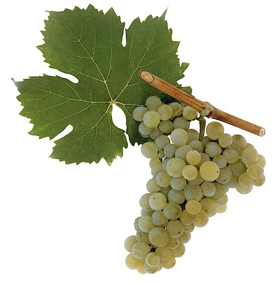 A picture shows the grapes of the grape variety Bouvier