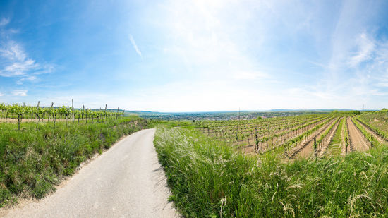 A picture shows vineyards near Langenlois in the Kamptal winegrowing region.