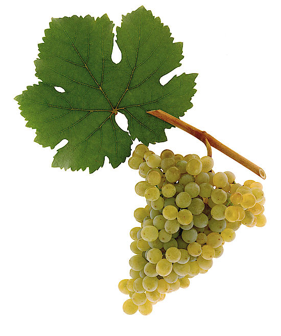 This picture shows the grapes of the grape variety Grüner Veltliner