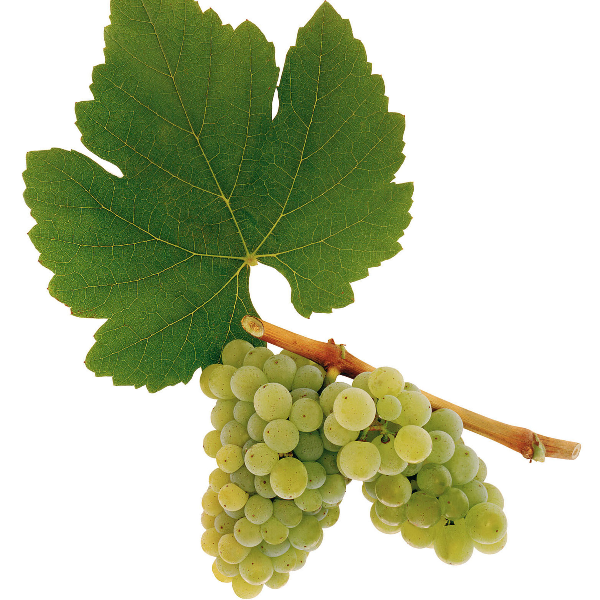A picture shows the grape variety Neuburger
