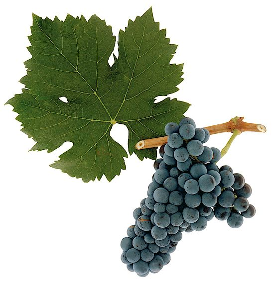 A picture shows grapes of the grape variety Cabernet Franc