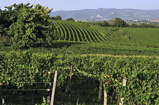 The picture shows a vineyard in the Rosalia Region