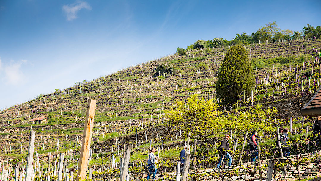 A picture shows Terraced Vineyards in Wachau
