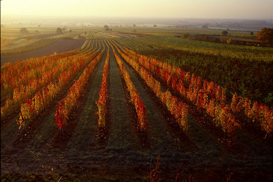 A picture shows a vineyard in autumn from above in the region Burgenland, © AWMB/Lukan.