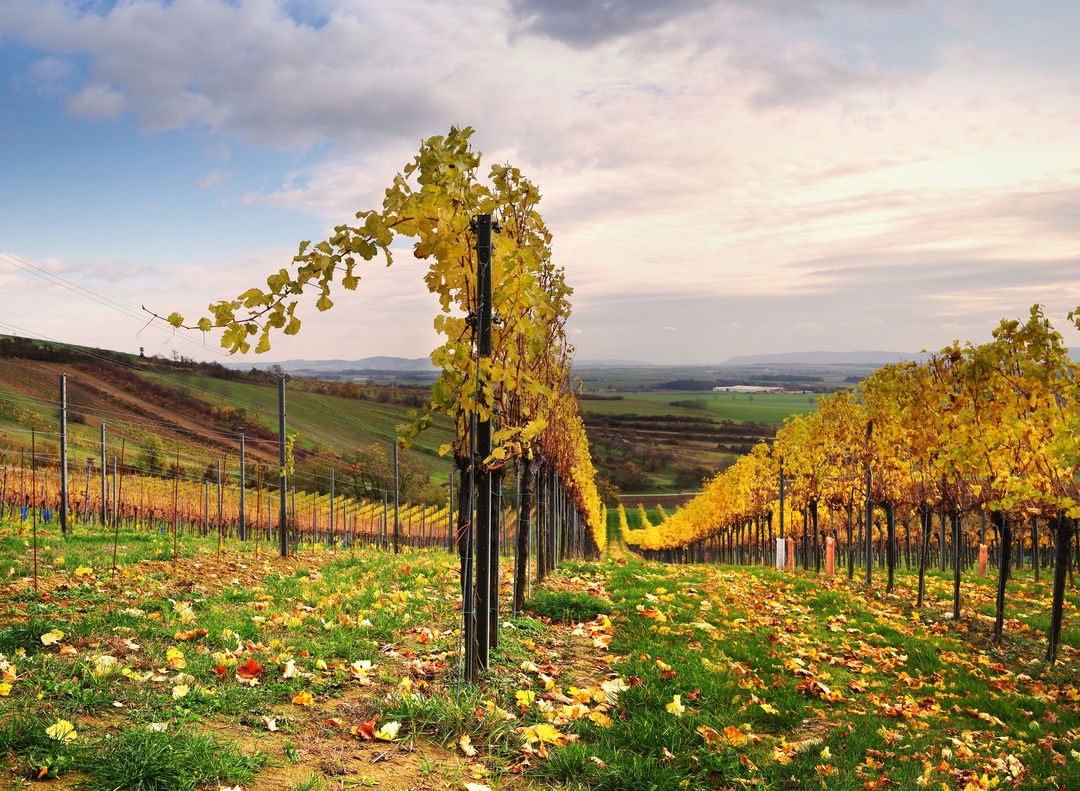 A picture shows a vineyard after the harvest, © AWMB/Marcus Wiesner.