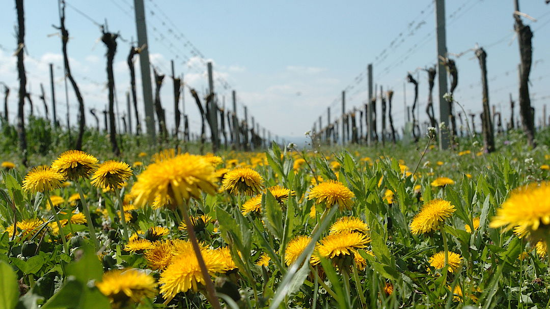 A picture shows a vineyard in spring