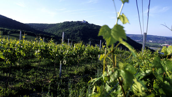 A picture shows a vineyard in vienna