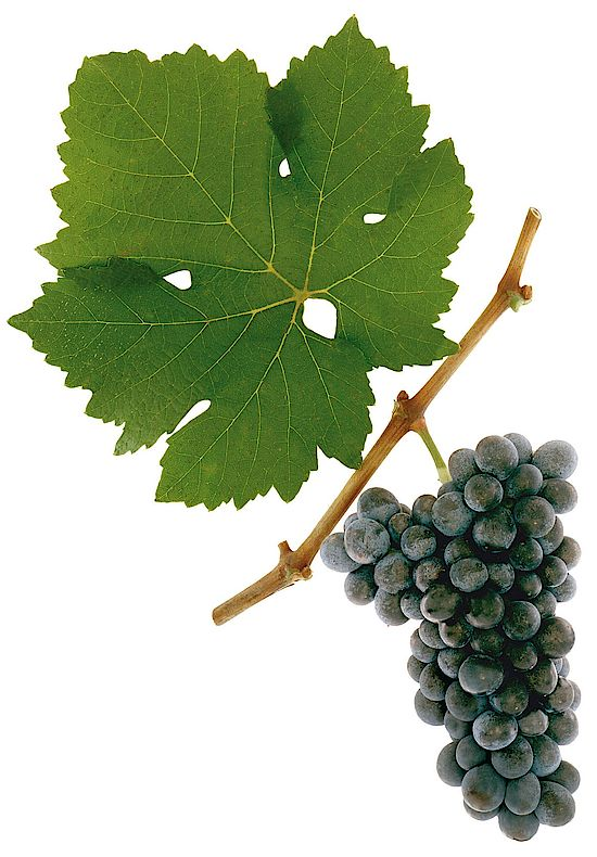 A picture shows grapes of the grape variety St. Laurent