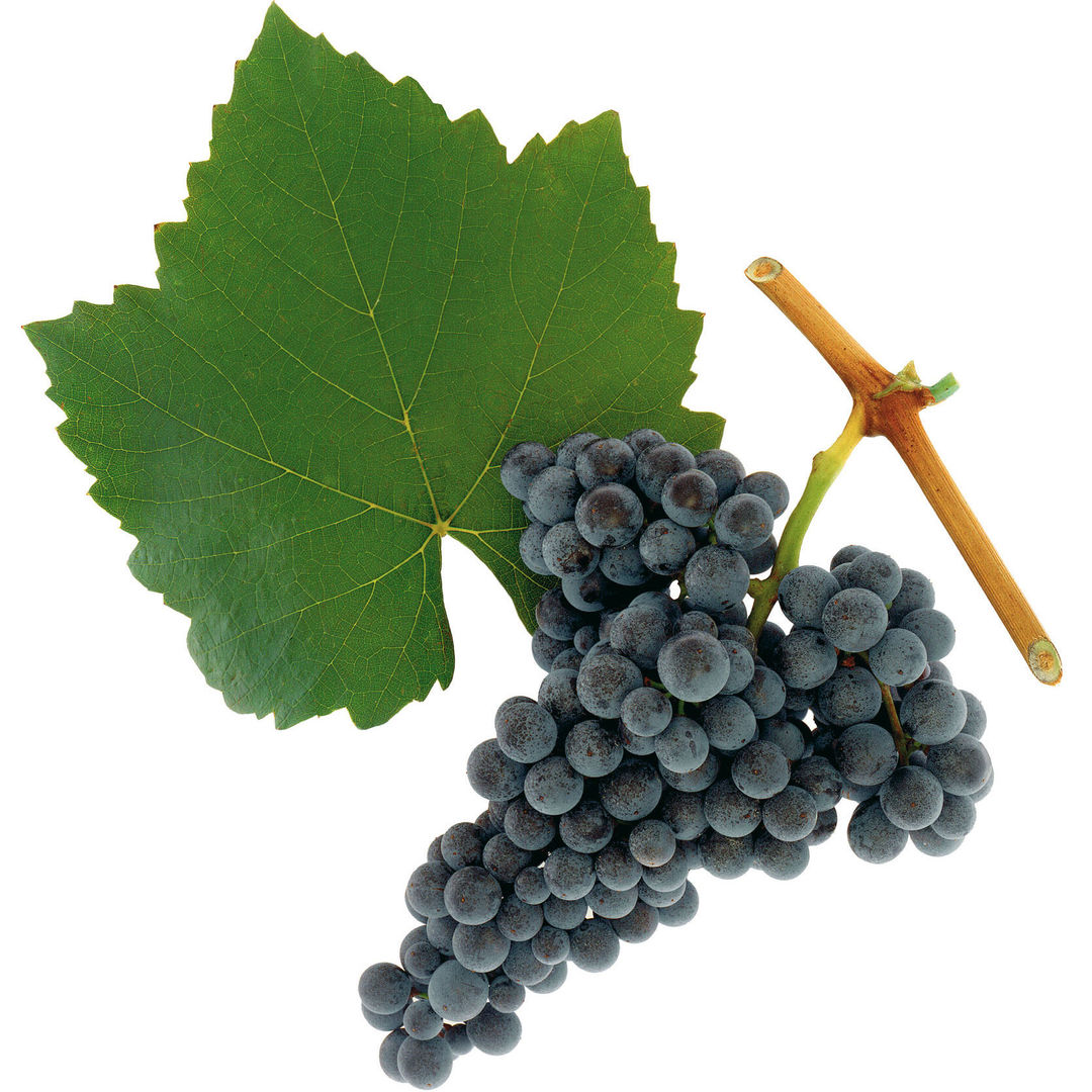 A picture shows the grape variety Blaufränkisch