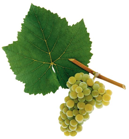 A picture shows grapes from the grape variety Weißburgunder