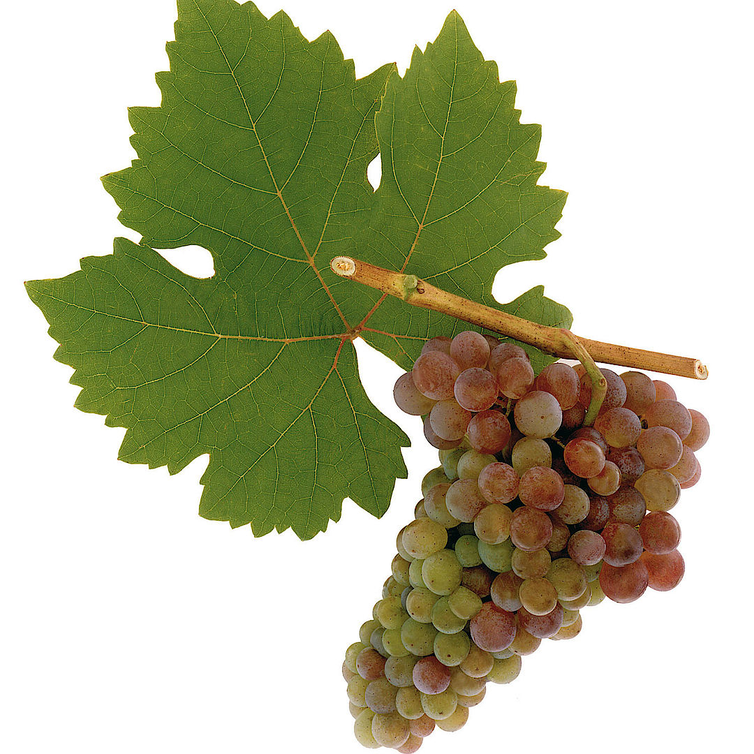 A picture shows the grape variety Frühroter Veltliner