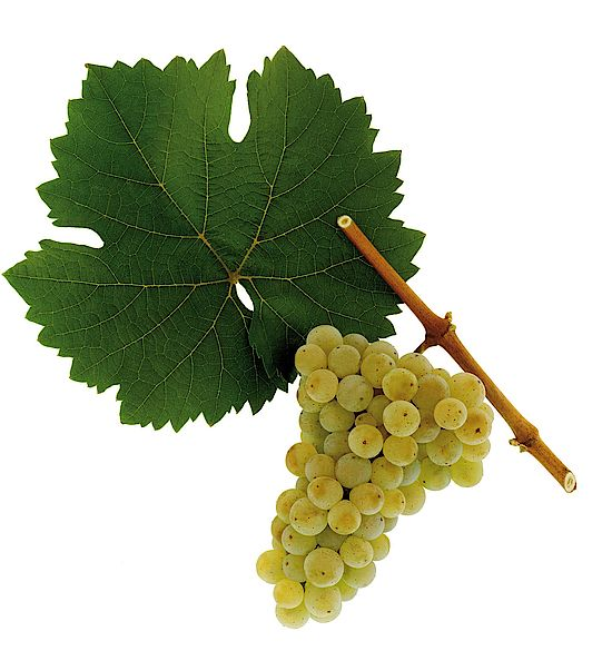 This picture shows grapes of Riesling