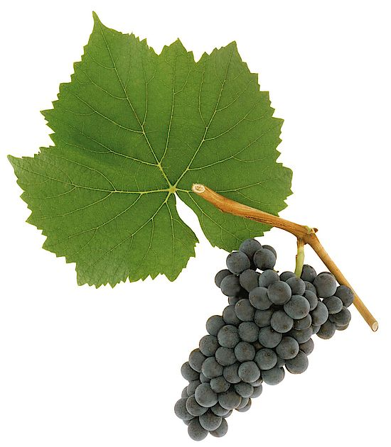 A picture shows grapes of the grape variety Blauburgunder