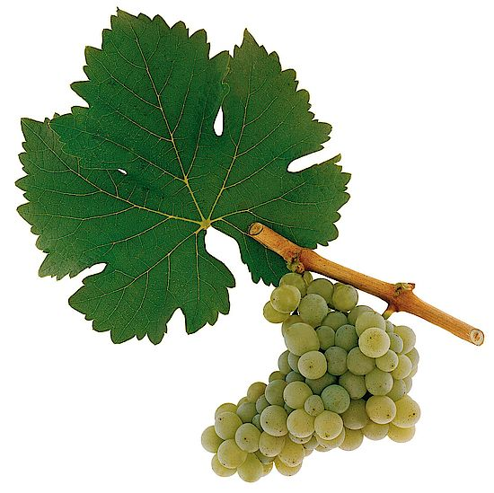 A picture shows grapes from the grape variety Sauvignon Blanc