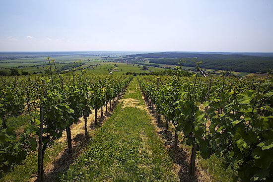 The picture shows a vineyard in the Eisenberg Region