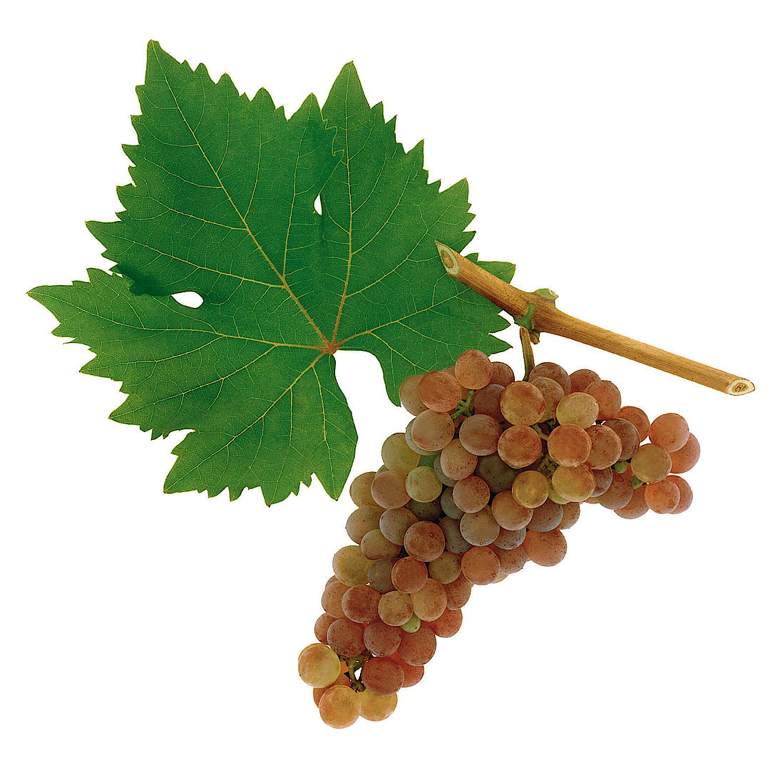 A picture shows the grape variety Roter Veltliner