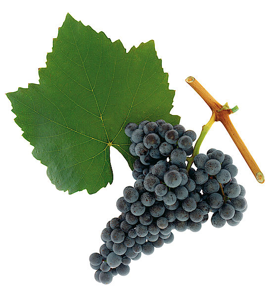 A picture shows grapes from the grape variety Blaufränkisch