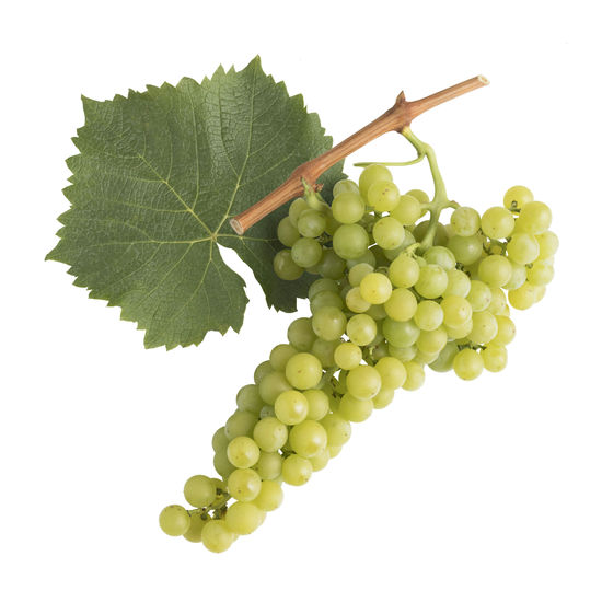 A picture shows the leaf and grape cluster of the Goldmuskateller, © Austrian Wine/Blickwerk Fotografie