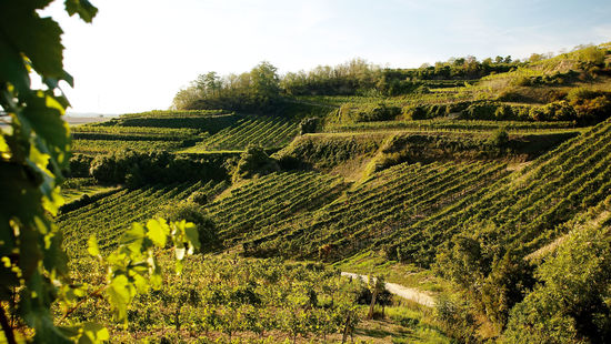 A picture shows terraced vineyards