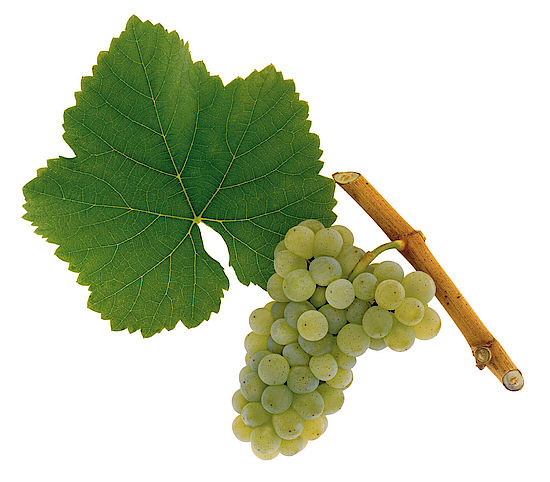 A picture shows grapes of the grape variety Grüner Sylvaner