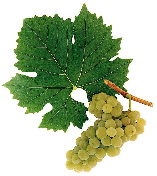 A picture shows grapes of the grape variety Goldburger