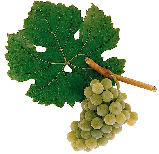 A picture shows grapes of the grape variety Scheurebe