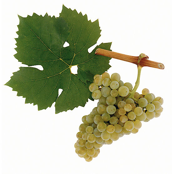 A picture shows grapes of the grape variety Müller-Thurgau