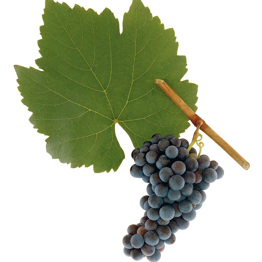 A picture shows the grape variety Blauer Wildbacher